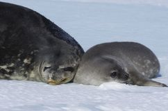 Free Seals - Ringed Seal Pusa Hispida, Lying In The Snow On A Sunny Day And Looking At The Camera. Royalty Free Stock Photo - 129466115