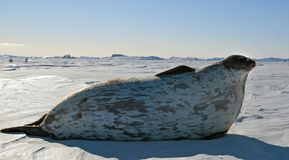 Seals - ringed seal Pusa hispida, lying in the snow on a sunny day and looking at the camera. royalty free stock photos