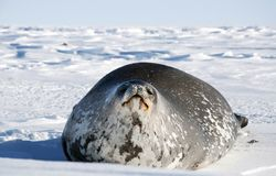 Seals - ringed seal Pusa hispida, lying in the snow on a sunny day and looking at the camera. stock images