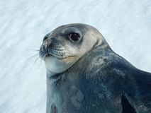 Seals - ringed seal Pusa hispida, lying in the snow on a sunny day and looking at the camera. Close-up. Antarctic stock image
