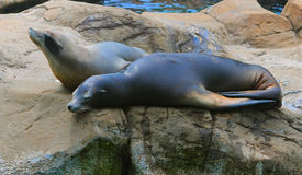 Seals on the rock Royalty Free Stock Photography