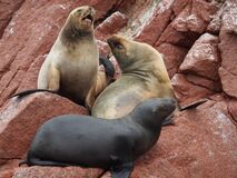 Seals on rock Stock Photography