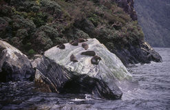Seals on a rock in Milford Sound. On New Zealand's South Island Stock Photography