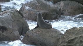 Seals on the rock in New-Zealand stock video