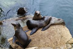 Five Seals On Rock Monterey Bay California Stock Images