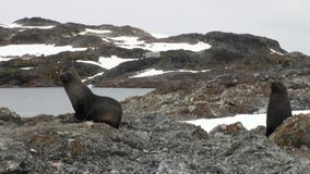 Seals on rock snow coastline in ocean of Antarctica. stock video