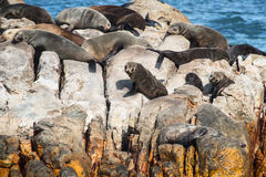 Seals on a rock Royalty Free Stock Photo