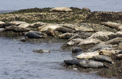 Seals on the Rocks Royalty Free Stock Images
