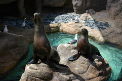 Seals On Rocks. Seals sitting on two large rocks surrounded by water, with visiting birds stock photography