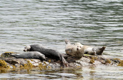 Seals on the rocks Stock Photography