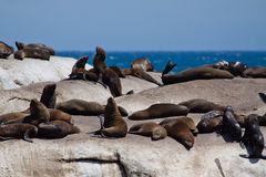 Seals on rocks Stock Photo