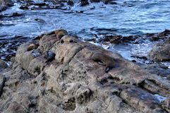 Seals on rocks in Kaikoura, New Zealand. Seals on rocks and in the water in Kaikoura, New Zealand Royalty Free Stock Image