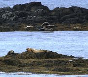 Seals, Northern Iceland stock photography