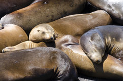 Seals in San Francisco Stock Image
