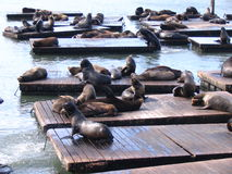 Seals - San Francisco. A group of noisy seals playing in San Francisco Fishermans Wharf Stock Photos