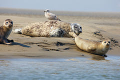 Seals on a sandbank Royalty Free Stock Photos