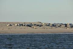 Seals on the sandbank Royalty Free Stock Photography