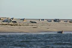 Seals on the sandbank Stock Images