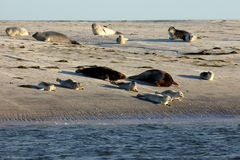 Seals on the sandbank Stock Photography
