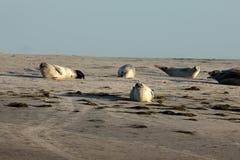 Seals on the sandbank Royalty Free Stock Image