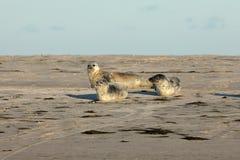 Seals on the sandbank Royalty Free Stock Photos