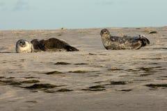 Seals on the sandbank Stock Photos