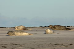 Seals on the sandbank Stock Image