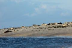 Seals on the sandbank Royalty Free Stock Photo