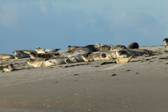 Seals on the sandbank Royalty Free Stock Images