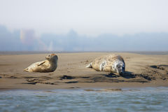 Seals on a sandbank in the middle of a river Royalty Free Stock Photos