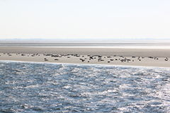 Seals upon sandbank between Terschelling and Ameland royalty free stock photo