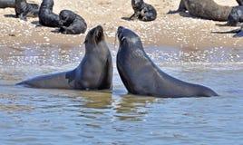 Seals on the Sceleton Coast. Seals on the Skeleton Coast of Namibia, South West Africa stock photos