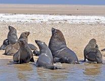 Seals on the Sceleton Coast. Seals on the Skeleton Coast of Namibia, South West Africa royalty free stock photos