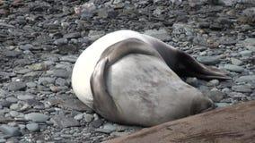 Seals scratching flipper paddle on coastline of Falkland Islands Antarctica. stock footage