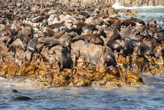 Seals on Seal Island. Cape fur seal colony in Mossel Bay south Africa Royalty Free Stock Image