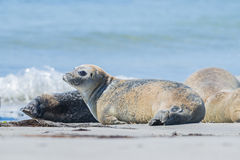 Seals Royalty Free Stock Photography