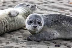 Seals Royalty Free Stock Images