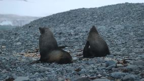 Seals seated on the beach of stones. Andreev. Seals seated on the beach of stones. The seal scratches itself. Two fur seals sit on the beach near the water stock footage