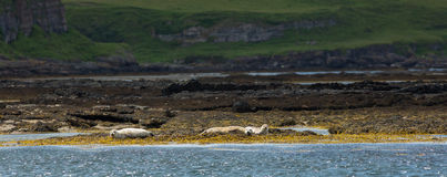 Seals on the Shore Royalty Free Stock Photography