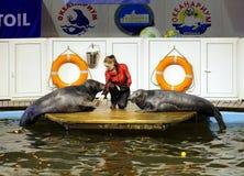 Seals show in the Murmansk oceanarium Stock Photography