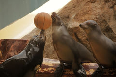 Seals on show. Seals showing their skills with a ball during show in Loro Parque in Tenerife, Spain royalty free stock photo
