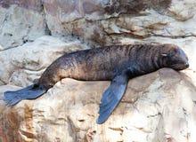 Seals sleep Royalty Free Stock Image