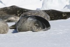 Seals sleeping on ice Royalty Free Stock Photography