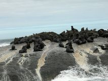 Seals on small island in South Africa sea Stock Photos