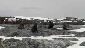 Seals in snow at Scientific Antarctic Station Academician Vernadsky. stock video