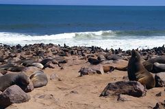 Seals in the sun Stock Photography