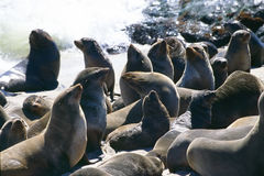Seals in the sun Stock Image