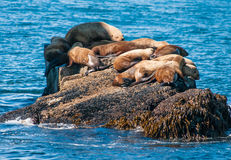 Seals sun bathing Stock Image