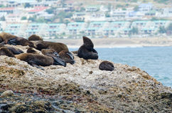 Seals sun tanning on seal island. A group of seals sun bathing on seal island with Mossel bay in the background Royalty Free Stock Images