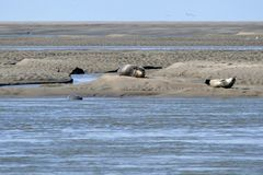Seals Sunbathing On Sand Bank For The Coast Of Somme Bay France Stock Photography